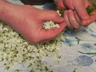 Removing stems of black locust flowers