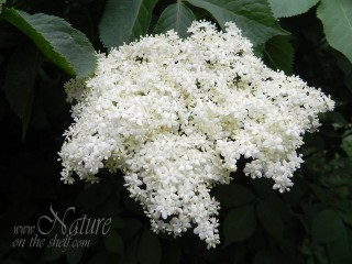 Elderflower head